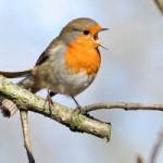 Robinsinging